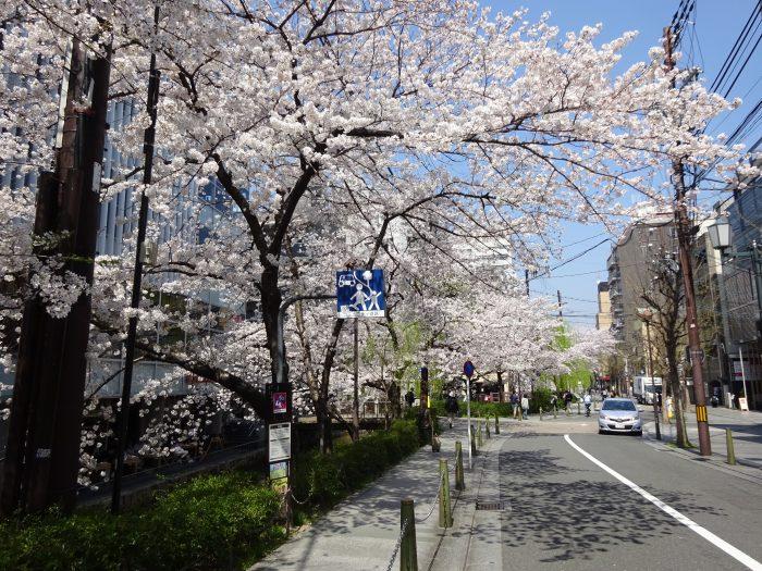 木屋町 桜